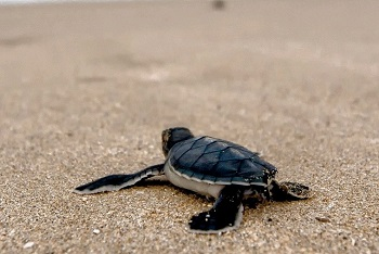 Olive Ridley Tours